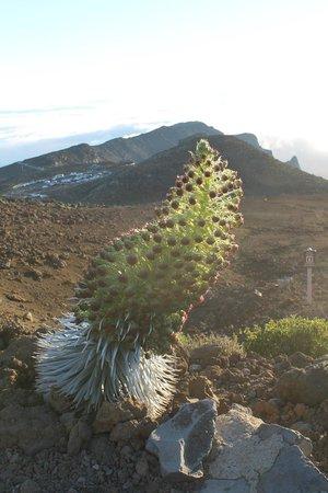 Mountain Riders: Haleakala Silversword in bloom