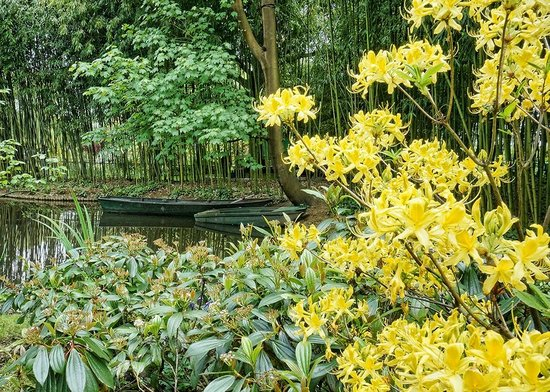 Maison et jardins de Claude Monet : Bright yellow azaleas in Monet's gardens