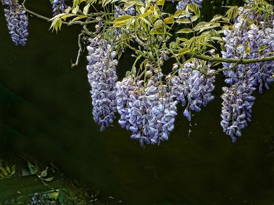Maison et jardins de Claude Monet : Lush wisteria draped many of the bridges and railings across Monet's lily ponds