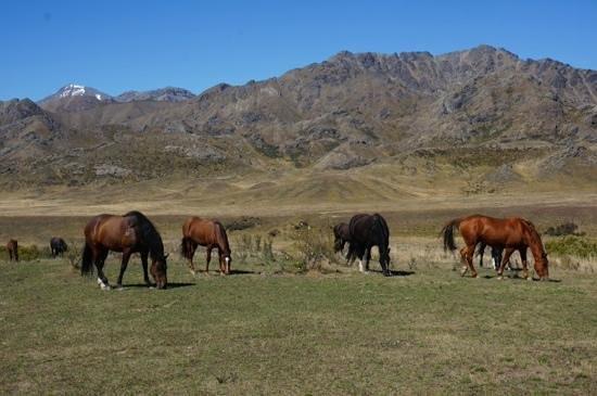 Molesworth High Country Tours: Molesworth Station's horse stock