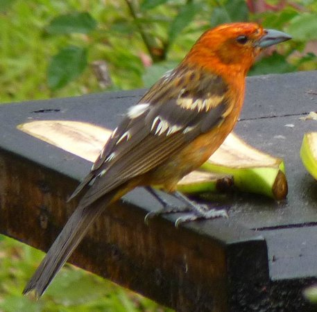 Bosque del Tolomuco: Flame Tanager