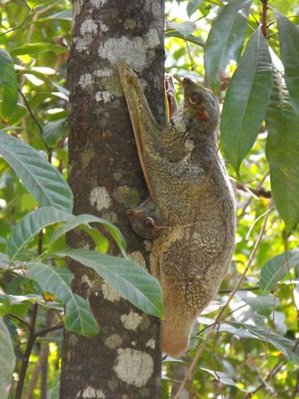 The Andaman, A Luxury Collection Resort: Flying lemur in gardens