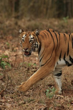 StayApart - Camp Serai Tiger: Un tigre dans le parc de Tadoba