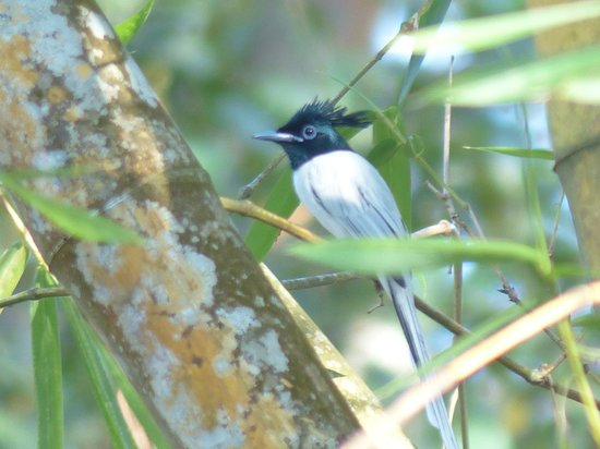 Apa Villa Illuketia: An asian paradise flycatcher before bath