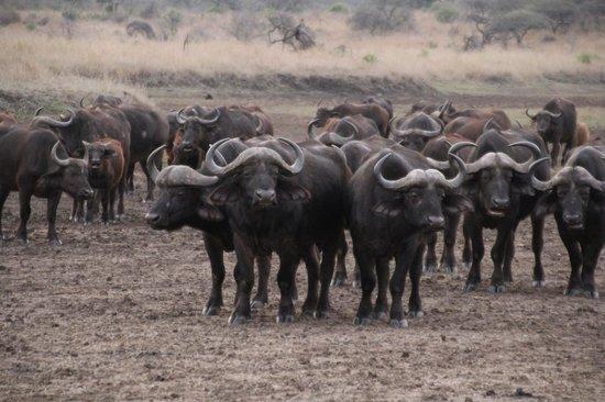 andBeyond Phinda Rock Lodge: Herd of buffalo during sunset
