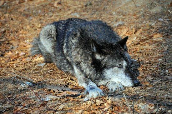 Lakota Wolf Preserve 8