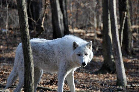 Lakota Wolf Preserve 6