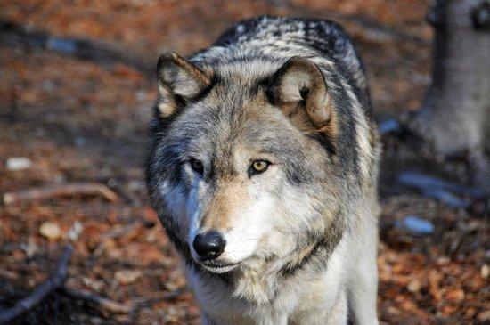 Lakota Wolf Preserve 4