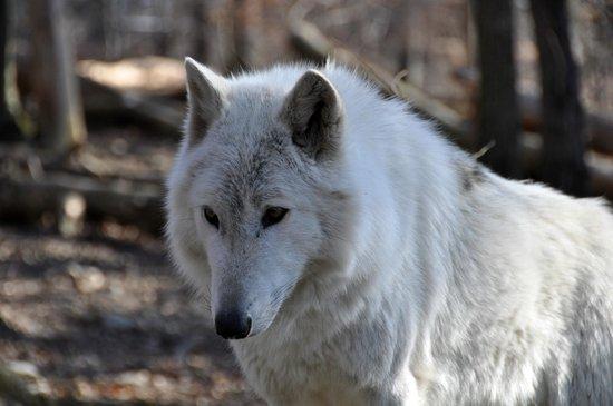 Lakota Wolf Preserve 5