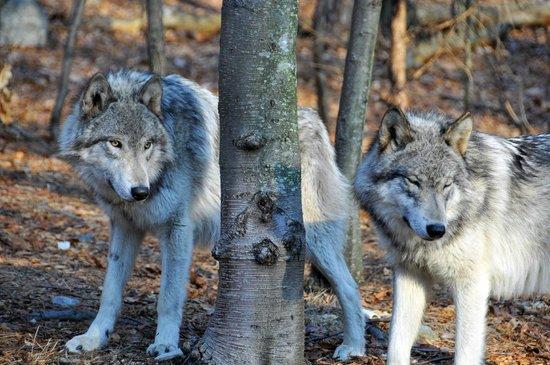 Lakota Wolf Preserve 3
