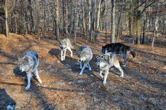 Lakota Wolf Preserve 7
