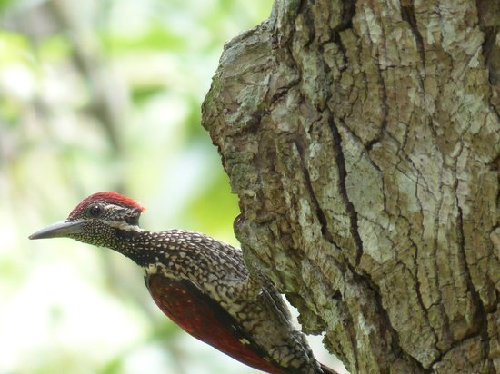 Apa Villa Illuketia: Flameback woodpecker close to the verandah