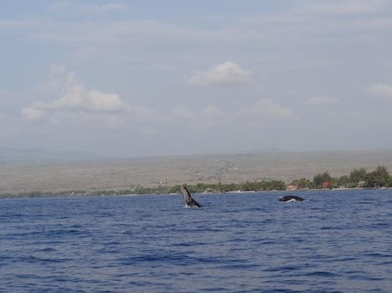 Ocean Sports Whale Watch Adventure: mother and baby breaching!