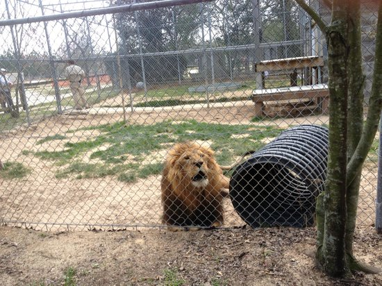 Emerald Coast Wildlife Refuge Zoological Park: Lonely Lion