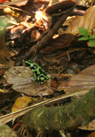 Maquenque Eco-Lodge : Poison dart frog