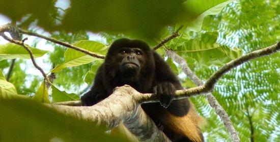 La Cusinga Eco Lodge: howler monkey