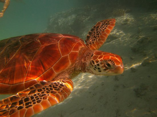 Le Meridien Bora Bora: Don't miss swimming with the turtles!
