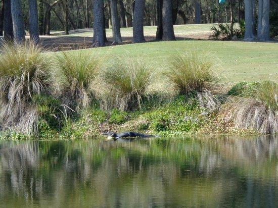 Island Links Resort : Alligator on golf course