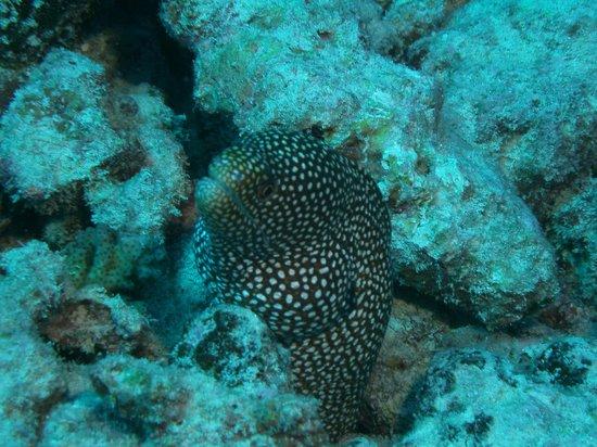 Eleuthera Bora Diving Center: Spotted Eel Dan found
