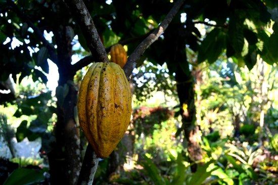 Vallarta Botanical Gardens: Cacao tree