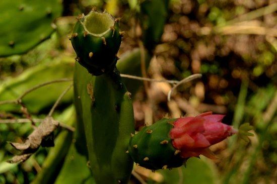 Vallarta Botanical Gardens: A cuctus flower