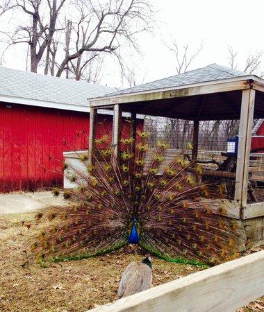 Henson Robinson Zoo: Strutting his stuff