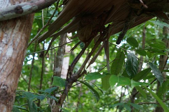 Tarsier Conservation Area: Under a small thatched roof