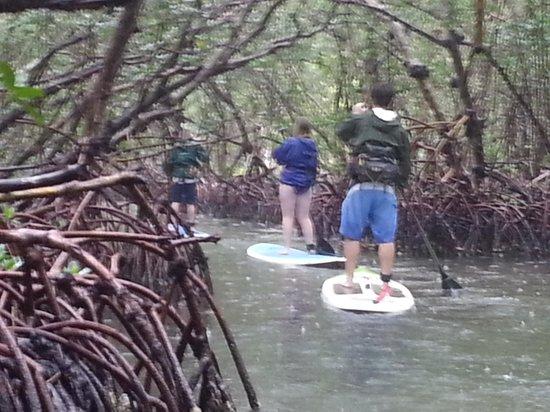 Sarasota Paddleboard Company : exotic mangrove tunnels