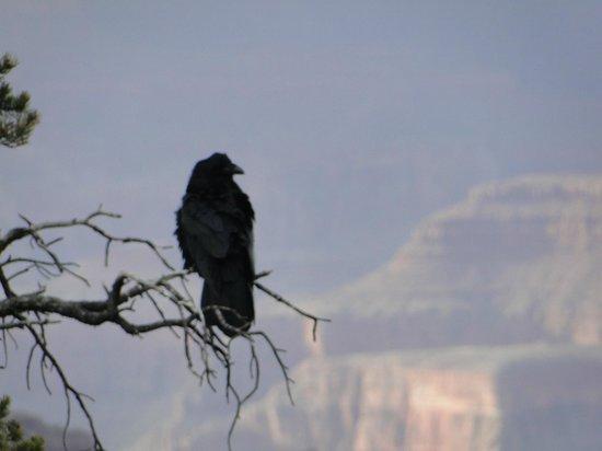 Pink Jeep Tours Grand Canyon: Grand Canyon Raven