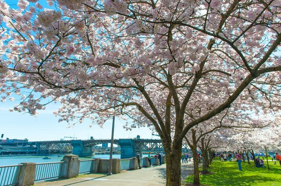 Portland Marriott Downtown Waterfront : flowering cherry trees along the Willamette River walkway nearby