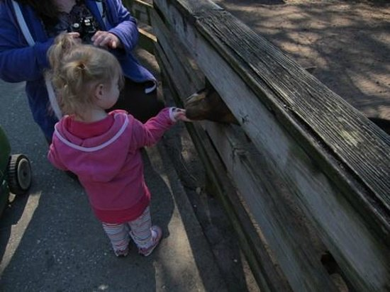 The Gulf Breeze ZOO: Feeding the goats.