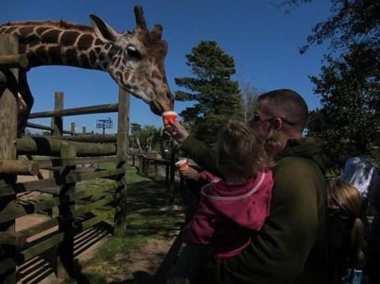 The Gulf Breeze ZOO: Feeding the giraffe.