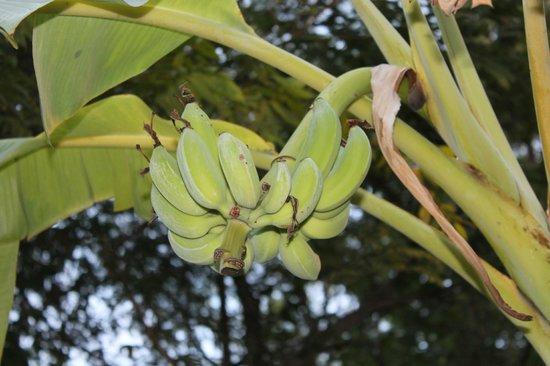 The Natural Resort: а из нашего окна ветвь с бананами видна