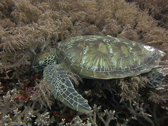 Liquid Dumaguete: turtle sleeping in an Apo Island reef