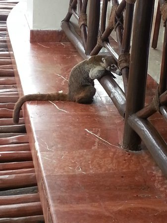 Grand Palladium Colonial Resort & Spa: Coati