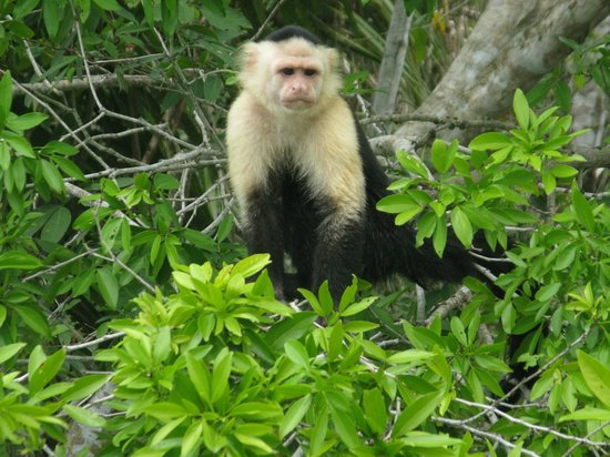 Gatun Explorer Panama Canal Jungle Day Tour : Capuchin monkey