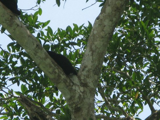 Gatun Explorer Panama Canal Jungle Day Tour: Howler monkey