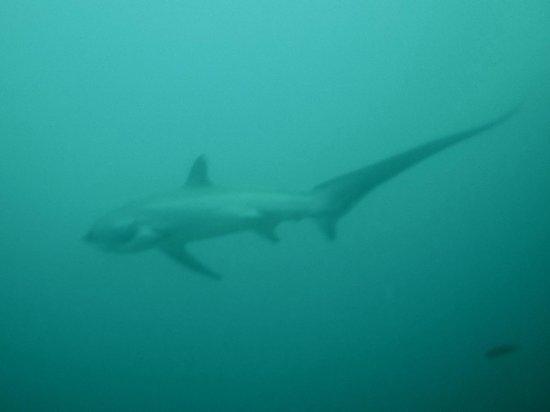 Sea Explorers Malapascua: Thresher encounter