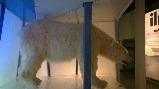 Arktikum : чучело белого медведя