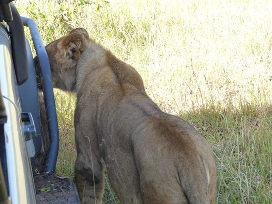 Saruni Mara : And here's the proof of the lion next to our safari truck
