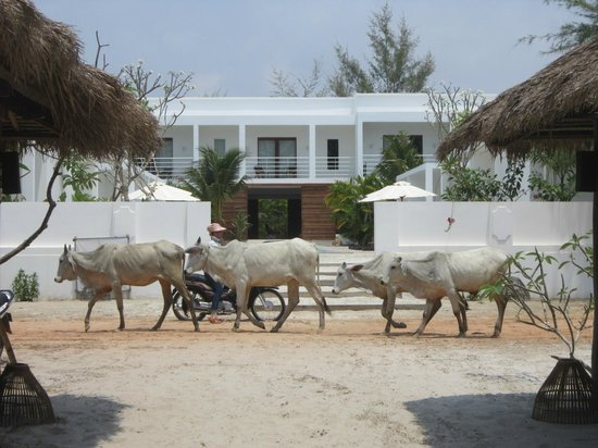 Tamu Hotel: Cows passing daily
