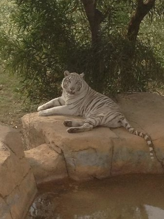 Amir Palace: The white tiger at the Zoo