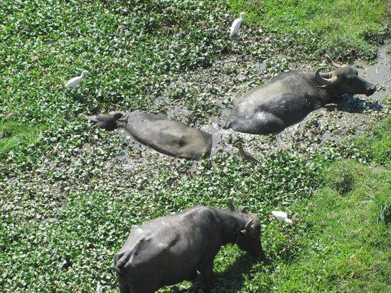 Konark Homestay: buffaloes