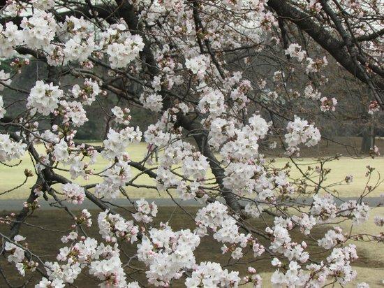 Shinjuku Gyoen National Garden : Cherry Flower in Apple blossom white colour