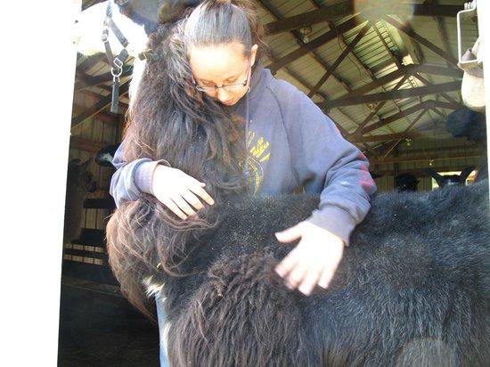 Storybook Farm Llama Trekking B&B: Llama Love