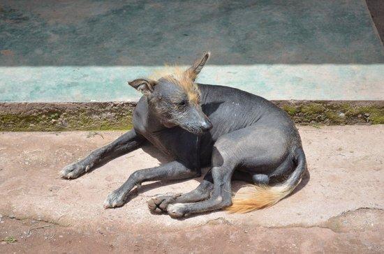 Santuario Animal de Cochahuasi: perro peruano