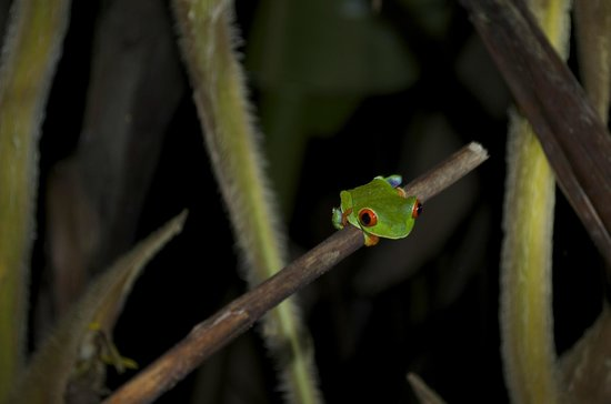 Arenal Oasis Wildlife Refuge : Red Eyed Tree Frog