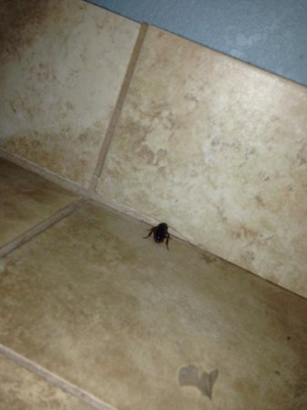 Holiday Inn Resort Daytona Beach Oceanfront: Large roach in bathroom.