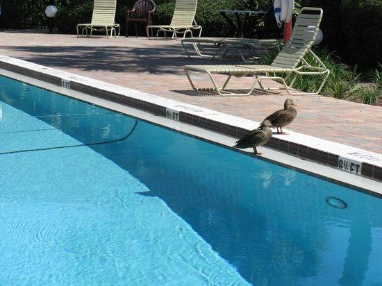 Maingate Lakeside Resort : ducks by the pool