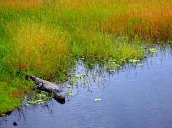 Myakka River State Park: Gators all around, no swimming huh?